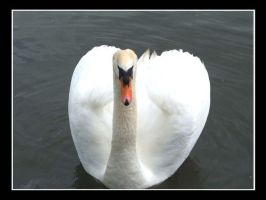 ....:Swan:.... by EmiValo666