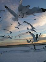 Winter Seagulls by angrial