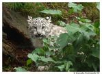 Baby Snow Leopard: Hide by TVD-Photography