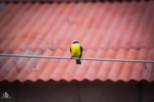 Yellow bird by DraconPhotography