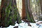 Sequoias by theh