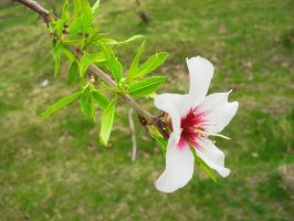 Norooz - Peach Blossom 1 by RagaGraphic