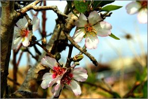 Almond flowers by ShlomitMessica