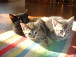 3 Kittens by Laeneris