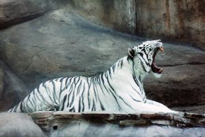 White Tiger by TinaGrey
