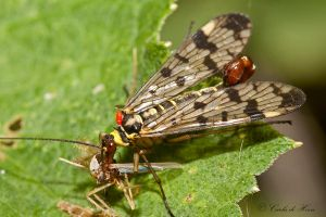Scorpion Fly by carlahoon