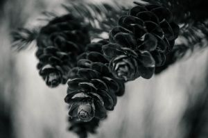 Pine Cones by Nathan-Ruby