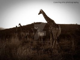 giraffe by LS-Coloringlife