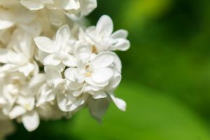White Lilac by sztewe