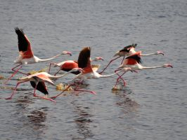 flying flamingos by jynto