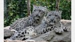 Snow Leopards (up for sale) by NatGeoWildFan