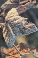 Frozen leaf by erynrandir