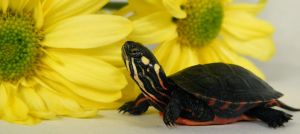 Happy World Turtle Day by PaganFireSnake