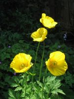 Yellow Poppies 02 by Tiger-tyger