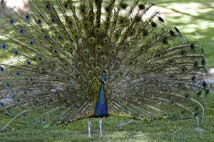Colorful Peacock by westtxphotographer