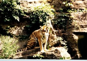 Tiger 3 by SupersStock
