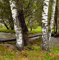 Birch trees near the old bridg by Korolevatumana