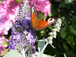 Peacock butterfly on Buddleia by popicok