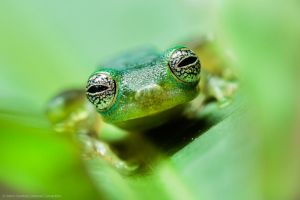 Ghost Glass Frog (Centrolenella Ilex) by MCN22