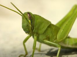 Young Grasshopper by suhleap