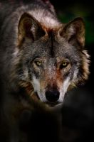 Timber Wolf Portrait 2 by MichaelsPhotography
