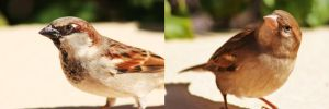 House Sparrow Couple by Tawadi