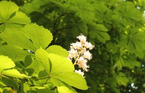 Horse chestnut blossom by loganmiracle