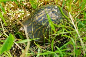 Box turtle in grass by EJordanPhoto