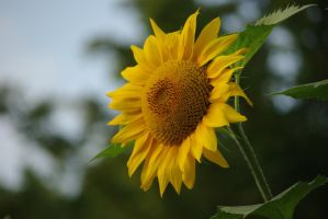 sunflower by Cornelia1962