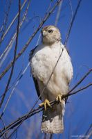 Red Tailed Hawk 2 by soonerjh