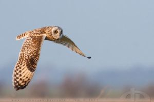 Short Eared Owl in Flight by thrumyeye