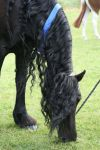 Friesian chch 2007 by moonfeather