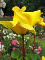 Yellow Rose of Portland by Thundercatt99