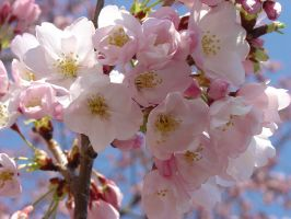 Cherry Blossoms 1 by bssc
