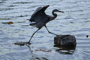 Great Blue Heron 12 by MegMarcinkus