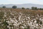 Cotton by tsmills