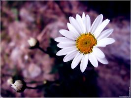 Marguerites by Coeurdelouve