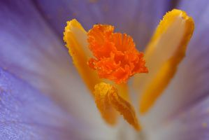 Crocus Stamen by Alliec