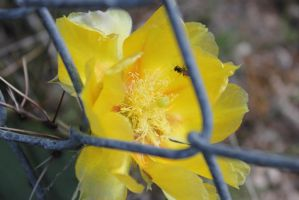 Yellow Cactus Flower by RavingPink