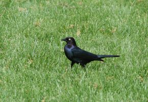 birdy 71: black bird by cyborgsuzystock