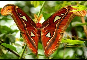 Atlas moth_1455 by MASOCHO