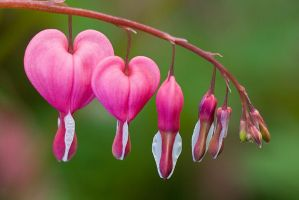 Bleeding hearts by duncan-blues