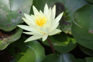 Water lilly 424 by fa-stock