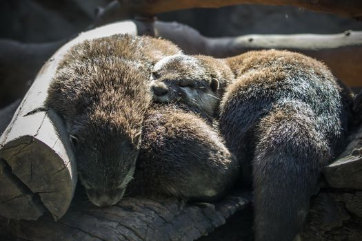 Otterly tired by attomanen