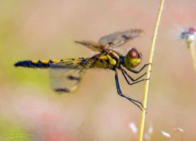 Yellow Dragonfly by eccoarts
