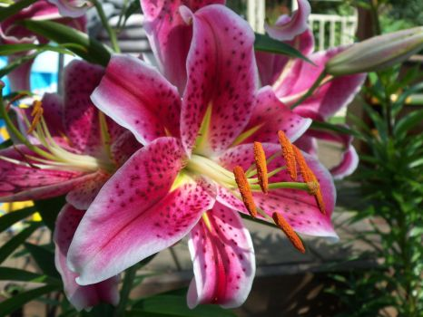 Day Lilly by zammariangod