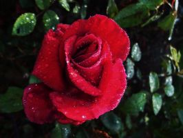 Blood Red Rose by Druggybunny