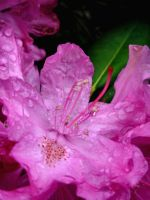 Rhododendron Bloom by che4u
