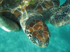 Sea Turtle upclose by IKP280