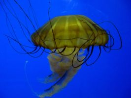 Sea Nettle 5 -- Sept 2009 by pricecw-stock